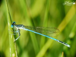 Blue Dragonfly by killswitch90