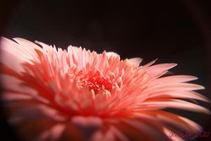 gerbera2 by gaZeNn