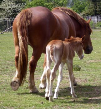 12 Suffolk Punch Filly + Mare by chaotezy