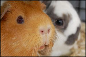 Molly the Guinea Pig by Ahorselv
