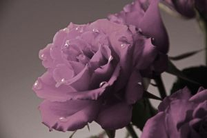droplets on rose by blackiris92