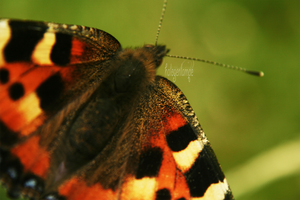 Butterfly 1 by halogenlampe