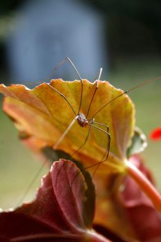 Eastern Harvestman 1 by Crematia18