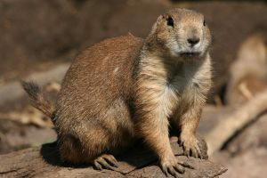Prairie Dog 3 by Hated-By-Many