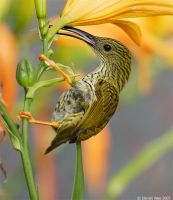 Streaked Spiderhunter by garion