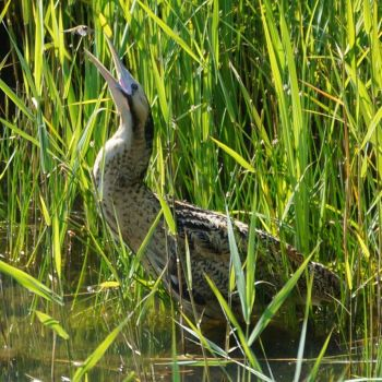 Bittern and dragonfly by Nieseln
