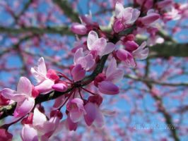 Redbud Tree by hyperetic