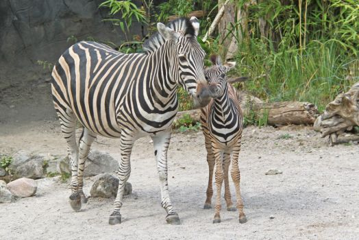 Zebra mother and foal by BetaDraconis
