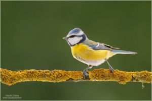 Blue Tit by ClaudeG