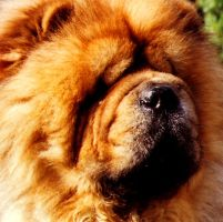 chow chow by ofira