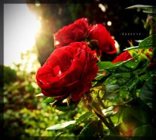 Rosebush by hawkeye280