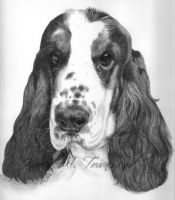 Cocker Spaniel by Karentownsend