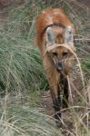 Maned Wolf 001 by FoxWolfPhoto