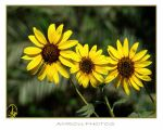 3 SUNFLOWERS by AMROU-A