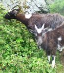 Wild Goats , Exmoor by Pins-n-Feathers