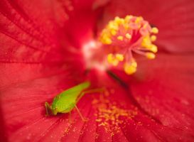 Grasshopper And Red Hibiscus 02 by agaillard