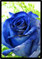 Blue Rose 2 by Freetha