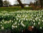A field full of snowdrops by TheFunnySpider