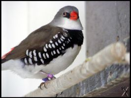 Zebra finch by Katana-Tate