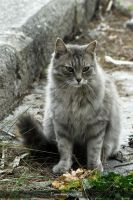 Gray Longhair Cat by NilgunT