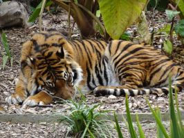 Adelaide Zoo 2014: Tiger 03 by lizardman22