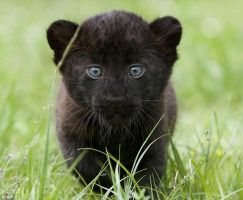 Panther Cub by TheSoloPantheress