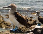 Blue Footed Boobies by dolma33