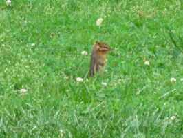 Chilling chipmunk is chilling by brandi3981