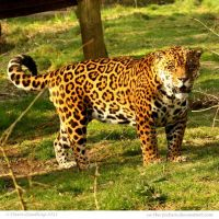 Jaguar at last by In-the-picture