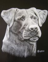 Chocolate Lab scratchboard by Child-of-God
