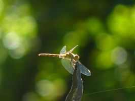 dragon fly by adrianmarkis