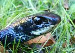 Northern Black Racer 2009 1 by seto2112