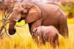 African Elephant cow and calf by pollittpics