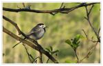 Wagtail by Pajunen