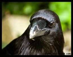 huginn or muninn? by morho