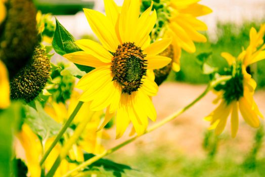 Sunflower-1-4 by anditosan