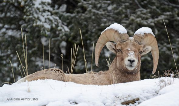 Big Horn Sheep by AlainaLee