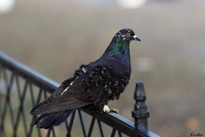 Waiting pigeon by KristinCross