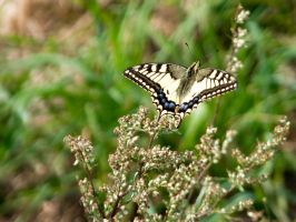 Papilio machaon by scoutty