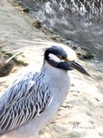 Yellow-crowned night-heron by Amarantheans