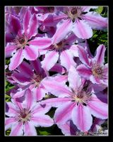 Photo: Clematis by Insidious-Ink