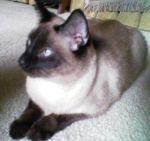 Rescued Siamese--Wolfangel by Elleree