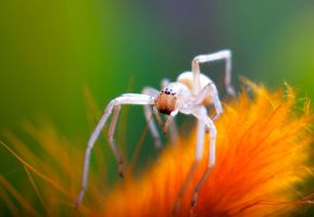 Spider by russinov