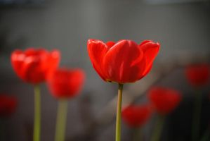Red Tulips by maryanak
