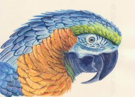 Macaw study by phantastes