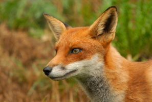 Red Fox 1 by shaunthorpe