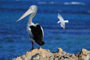 Perching Pelican by Aztil
