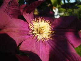Clematis2 by Yashafreak2709