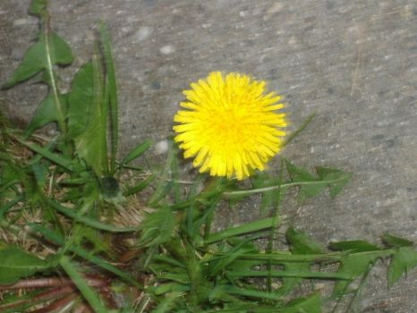 Dandy Lion by Nick-n-Steve-Stock
