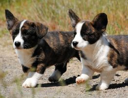 Cardi Pups 424105 by SilverblueCat